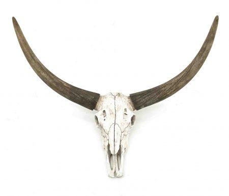 Ossenhoofd schedel