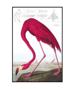 American Flamingo roze