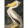 American White Pelican - bird