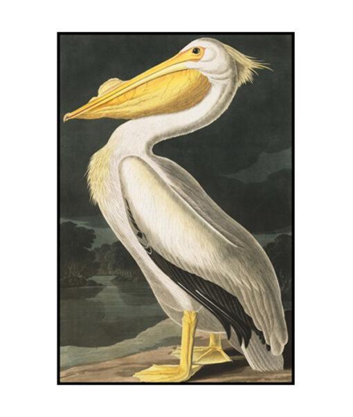 American White Pelican bird