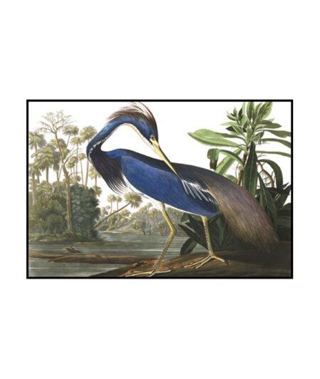 Louisiana Heron - bird